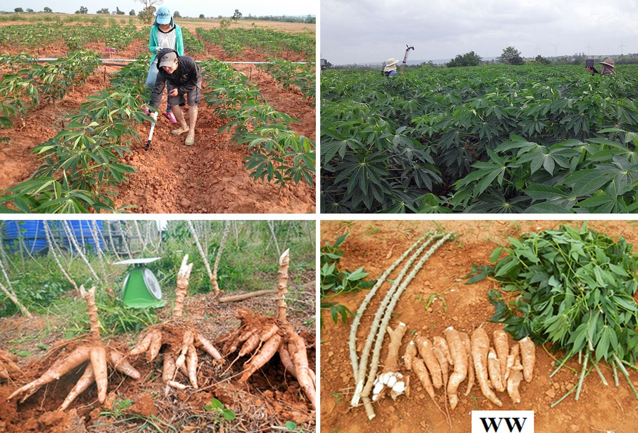 Pipatsitee et al, 2019. Growth Performances of Cassava (Manihot esculenta Cranz) under Water Deficit Conditions